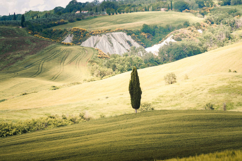 A lonely tree in Tuscany hills Landscape Environment Scenics - Nature Tranquility Tranquil Scene Plant Land Beauty In Nature Non-urban Scene Tree Green Color No People Nature Day Rural Scene Field Hill Grass Agriculture Outdoors Rolling Landscape Tuscany Val D'orcia Pienza Siena