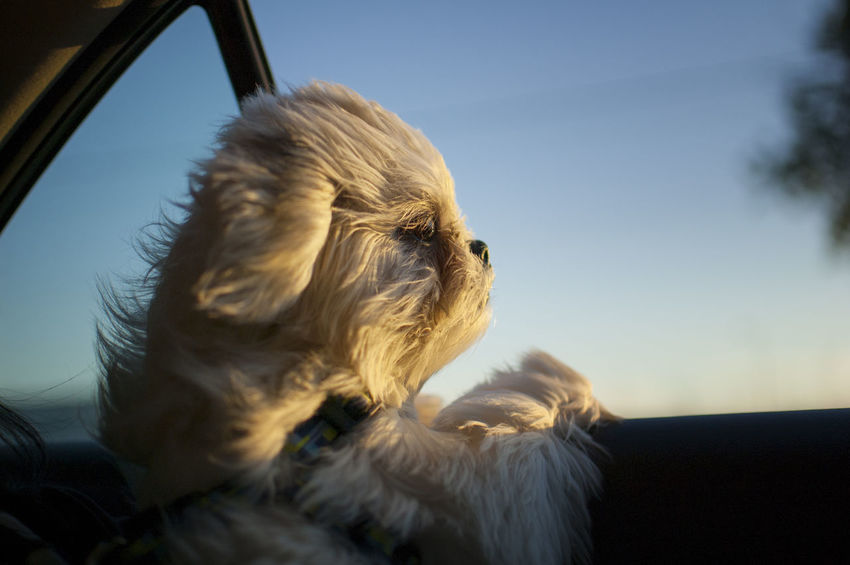 Animal Animal Body Part Animal Head  Animal Themes Canine Car Close-up Dog Domestic Domestic Animals Focus On Foreground Looking Mammal Motor Vehicle No People One Animal Pets Relaxation Shih Tzu Sky Small Vertebrate