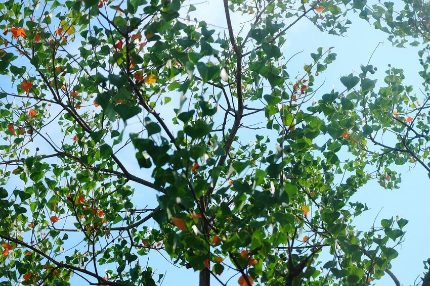 Tree Branch Leaf Fruit Clear Sky Sky Green Color