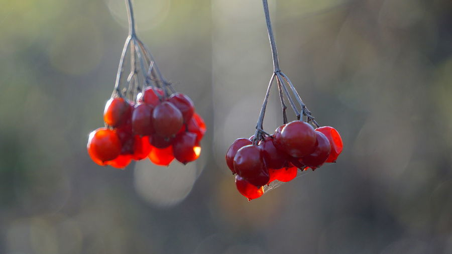 Beauty In Nature Berry Fruit Cherry Close-up Day Focus On Foreground Food Food And Drink Freshness Fruit Growth Hanging Healthy Eating Nature No People Outdoors Plant Red Red Currant Ripe Rowanberry Tree Wellbeing