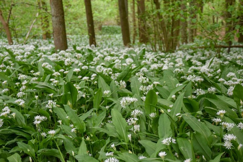 Flower White Flower Bear's Garlic Bear Leek Wood Garlic Broad-leaved Garlic Allium Ursinum Amaryllidaceae Family Amaryllidaceae Asparagales Wild Garlic ,woods Nature Trees Wild Garlic Flower Wild Garlic Field Wild Garlic Flowers Wild Garlic Buckrams Ramsons Hallerbos Hallerbos - Bois De Hal Hallerbos -bois De Hal Allium Allium Flower Allium Ursinum Plant Land Beauty In Nature Growth Forest Green Color Tree