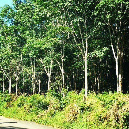 Kebun Garden Forest Karet rubber adalah mayoritas penghasilan warga di desa kami dan sumsel pada umumnya