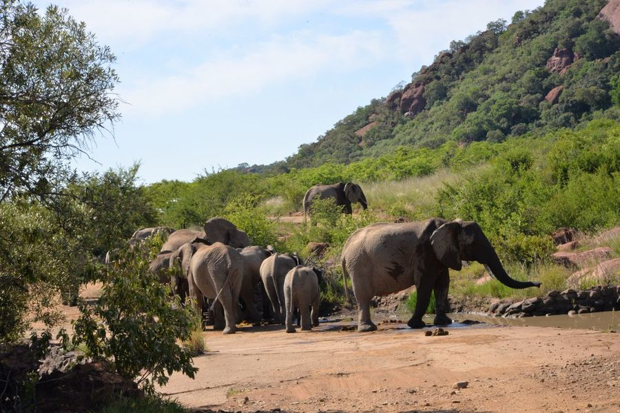 Leaving the water hole Elephant Animals In The Wild Animal Themes Tree Nature Mammal Outdoors Day Sky Animal Wildlife No People Landscape Elephant Calf Safari Animals African Elephant Beauty In Nature Elephant ♥ Elephants Mammals EyeEm Nature Lover Animal Trunk Wildlife & Nature Wildlife Reserve Animals In The Wild Tusk