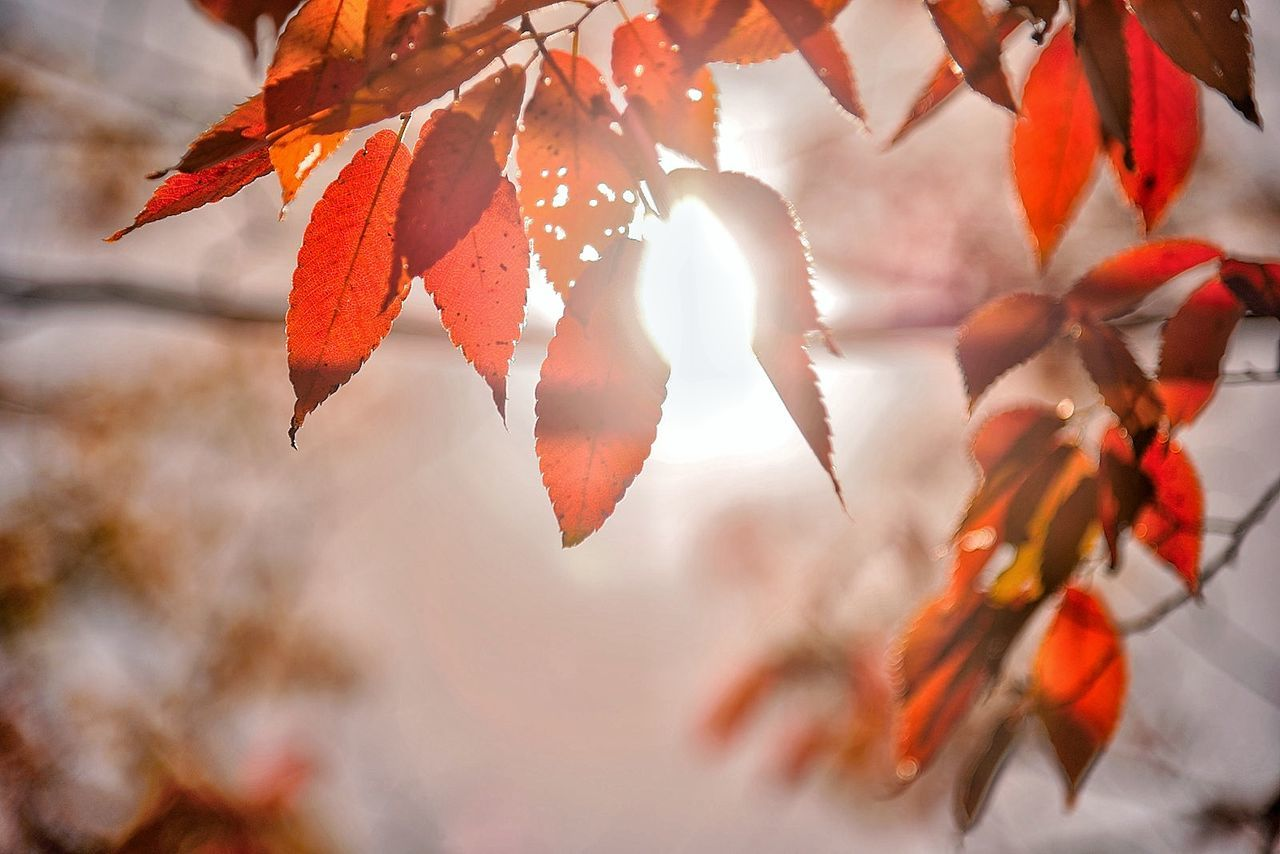 autumn, leaf, change, nature, orange color, outdoors, day, beauty in nature, maple leaf, focus on foreground, no people, red, close-up, tree, maple
