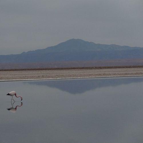 salar de Atacama 鏡面 鏡 アタカマ Atacama チリ Chile 北部 Nortedechile Flamingo フラミンゴ 南米 戻りたい ちょっと天気悪い 温帯気候 からの 乾燥地帯 へ 移動 はんぱない 帰国済み 旅の思い出
