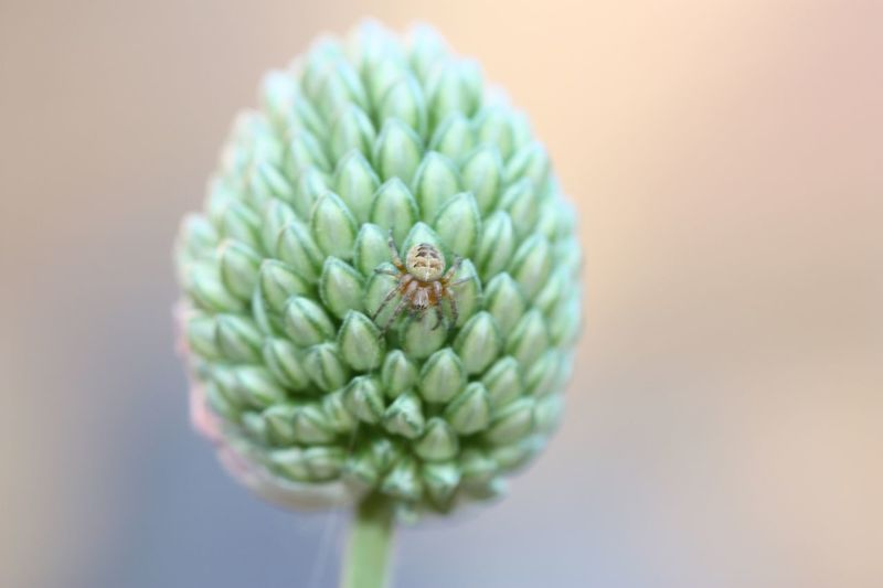 Spider and Alium Flower Macro Macro Photography Spider Flower Close-up Flowering Plant Plant Freshness Beauty In Nature Colored Background Flower Head Growth Fragility Selective Focus Focus On Foreground No People Nature