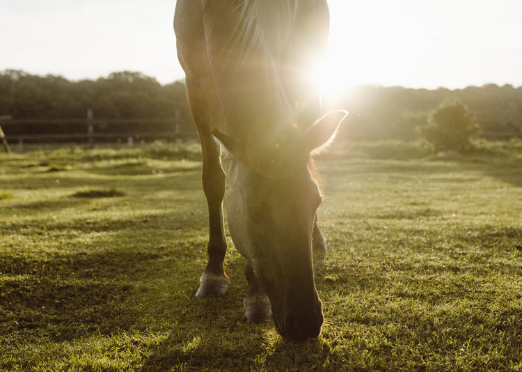 Sunrise Animal Themes Day Domestic Animals Field Grass Lens Flare Livestock Low Section Mammal Nature No People One Animal Outdoors Pets Standing Sunlight