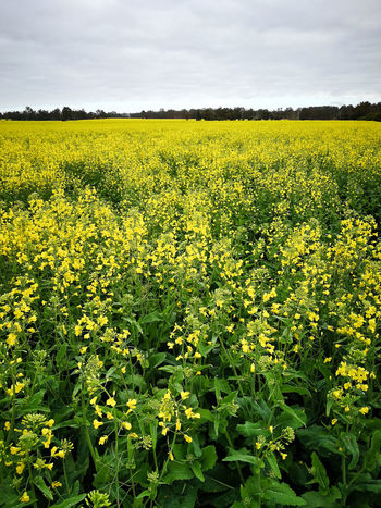 Blooming canola / rapeseed field in spring time. In Bloom Blooming Plant Life Blossom Farming Farmland Yellow Fields RapeFlowers Rapeseed Field Rapeseed Tourist Destination Tourist Attraction  Tourist Tourism Farmfield Farm Canola Flowers Canola Field Canola Field Traveling Travel Travel Destinations Australia & Travel Australia Western Australia Yellow Beauty In Nature Growth Landscape Flower Plant Agriculture Land Flowering Plant Scenics - Nature Rural Scene Sky Environment Crop  Oilseed Rape Tranquil Scene Freshness Tranquility No People Springtime Outdoors Flowerbed