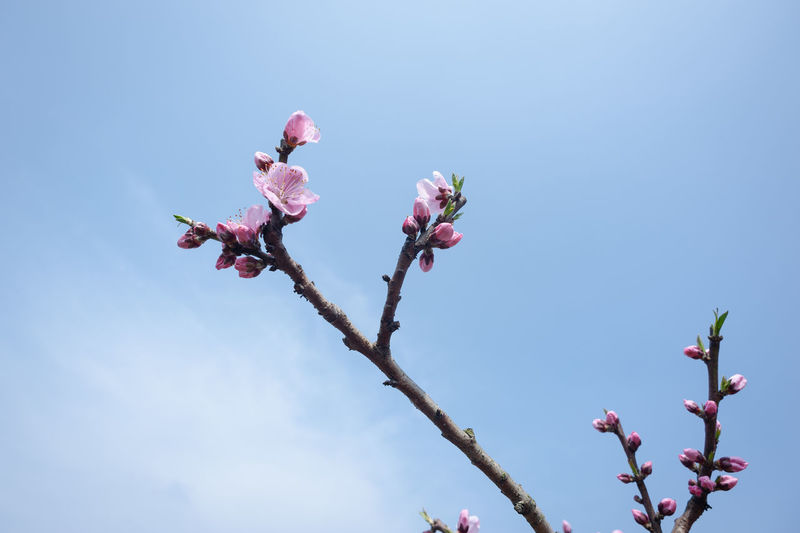 peach Blossom in blue sky Flower Flowering Plant Plant Fragility Beauty In Nature Vulnerability  Pink Color Growth Freshness Low Angle View Nature Sky Branch Tree Blossom No People Close-up Petal Day Twig Springtime Outdoors Flower Head Plum Blossom Cherry Tree Blue Blue Sky Peach Blossom Peach Flowers Pink Flower Peach Tree