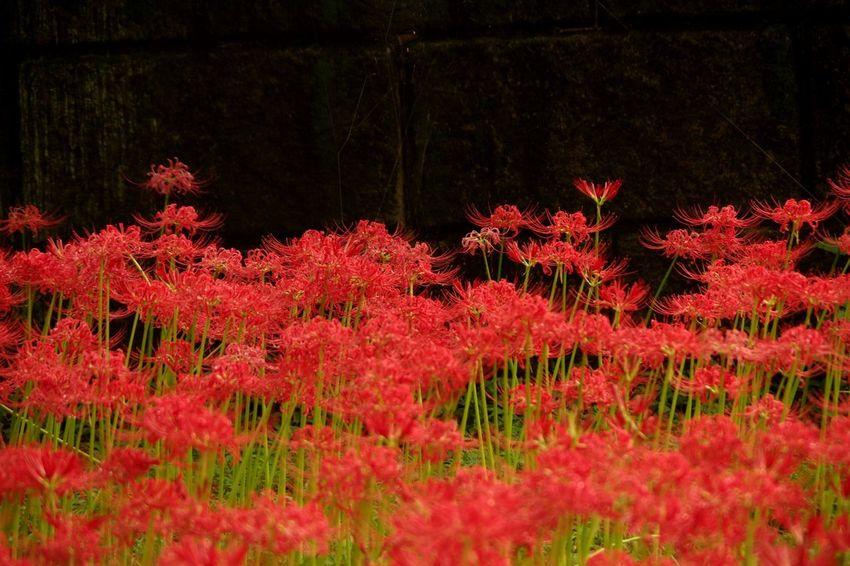 巾着田曼珠沙華公園 彼岸花 曼珠沙華 Pentaxk3 Red Flower