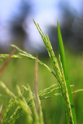 Grain sourced Co.labskch Borneoinbali Plant Growth Green Color Nature Close-up Focus On Foreground Beauty In Nature Day Field Plant Part Blade Of Grass Water Crop  Outdoors Agriculture Selective Focus Grass No People Land Tranquility