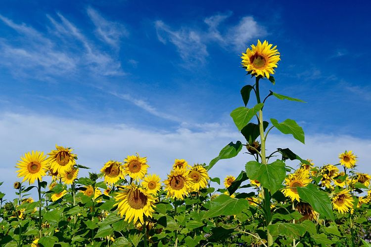 Field Agriculture Outdoors Plant Growth Flower Flowering Plant Beauty In Nature Freshness Sky Flower Head Vulnerability  Sunflower Yellow Fragility Inflorescence Nature Petal Cloud - Sky Leaf No People Low Angle View Green Color