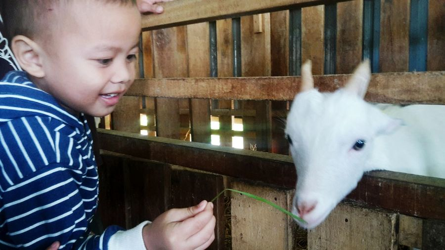 feeding the goat Lovelife Kids PerciousMoments Pets Friendship Smiling Child Males  Happiness Protruding Barn Care Cheerful Goat Kid Goat