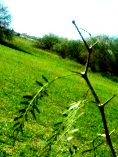 Grass Nature Growth Close-up No People Day Outdoors Sky Green Color Branch Freshness Textured  Thorns🌹 Frommypointofview The Purist (no Edit, No Filter) Snapshots Of Life Mobile_photographer EyeEm Best Shots Low Angle View Backgrounds Full Frame