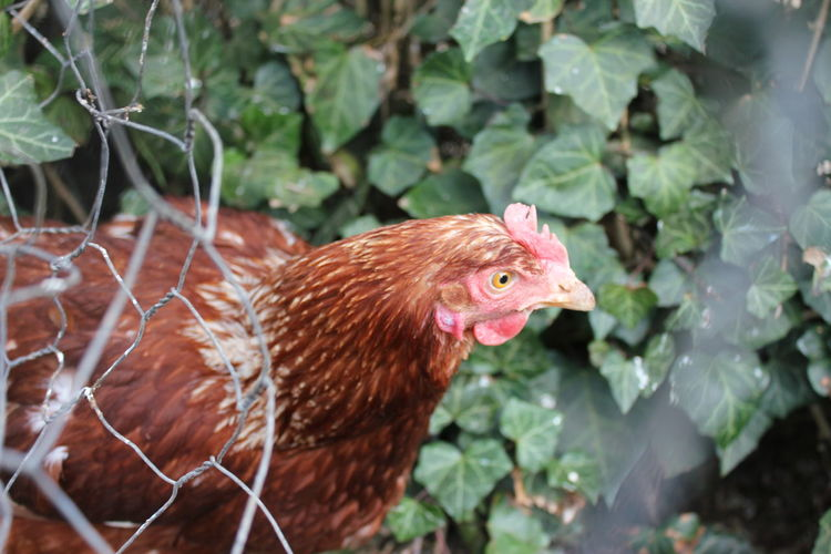 Nosy chicken Nosy Nosy Chicken Animal Animal Head  Animal Themes Bird Chicken Chicken - Bird Close-up Day Domestic Domestic Animals Leaf Livestock Nature No People Nosiness One Animal Outdoors Pets Plant Plant Part Vertebrate