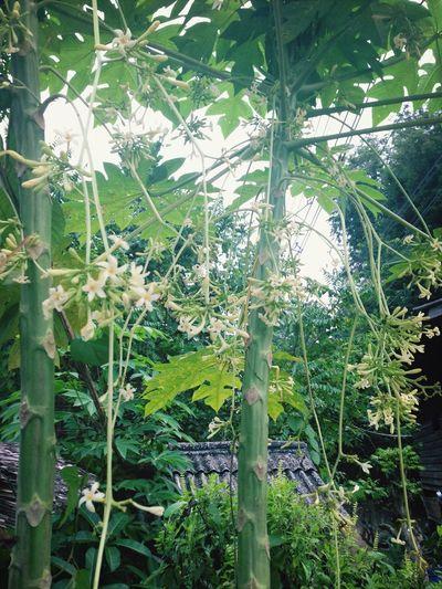 ดอกมะละกอ ก็น่ารักดี...