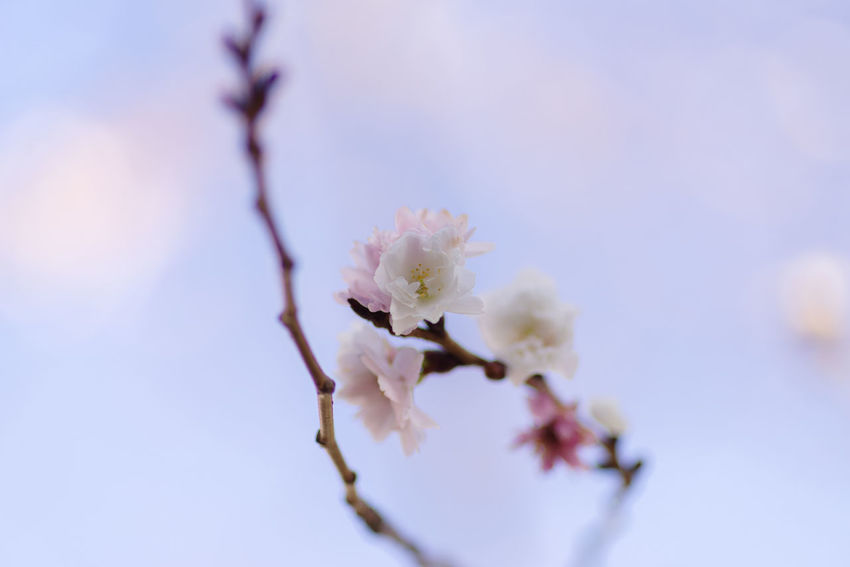 Flower Flowering Plant Fragility Plant Beauty In Nature Freshness Vulnerability  Growth Blossom Branch Springtime Tree Close-up Selective Focus Nature No People Day Twig White Color Petal Flower Head Outdoors Cherry Blossom Softness Cherry Tree