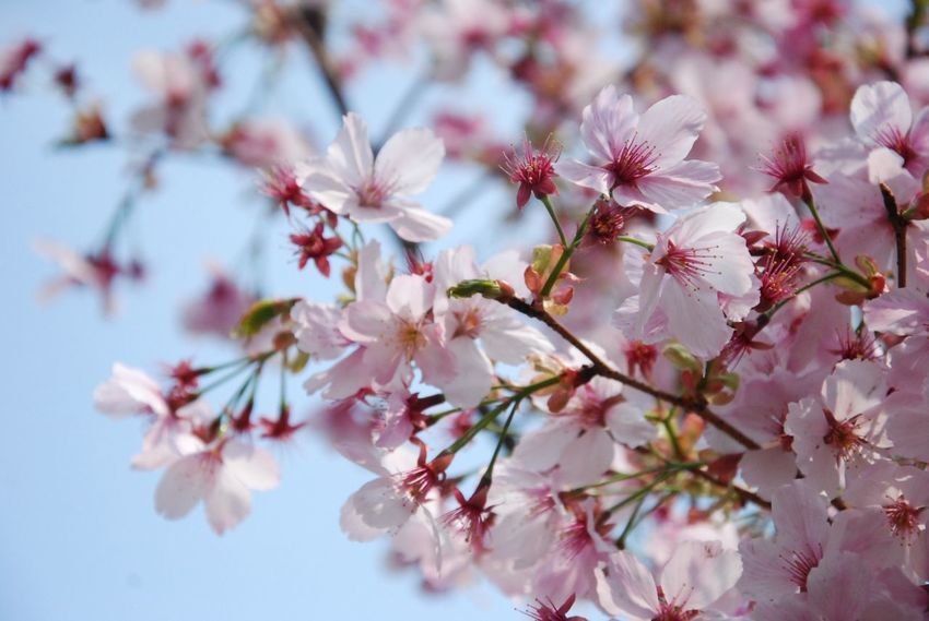Cherry Blossom Flower Freshness Nature Growth Springtime Close-up Fragility CharrBranchch Blossom No People Petal Pink Color Twig Tree Almond Tree Outdoors Day Cherry Blossom Flower Head