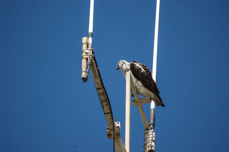 Osprey Lone Bird Solitary Preying Scanning Scanning Horizon Osprey  Satellite Satellite Antennas Lookout Birds Of Prey One Bird One Bird Perching Animal Themes One Bird On Focus One Animal EyeEm Selects Outdoors Blue Day No People Clear Sky Sky Low Angle View Animals In The Wild Perching Animal Wildlife Nature Bird Copy Space