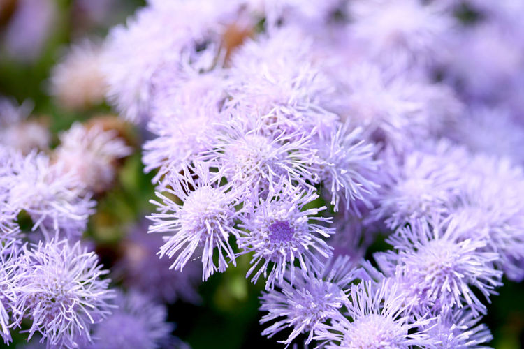 Beauty In Nature Close-up Flower Flower Head Flowerbed Flowering Plant Focus On Foreground Food Food And Drink Fragility Freshness Growth Inflorescence Nature No People Ornamental Garden Petal Plant Purple Selective Focus Springtime Thistle Vulnerability
