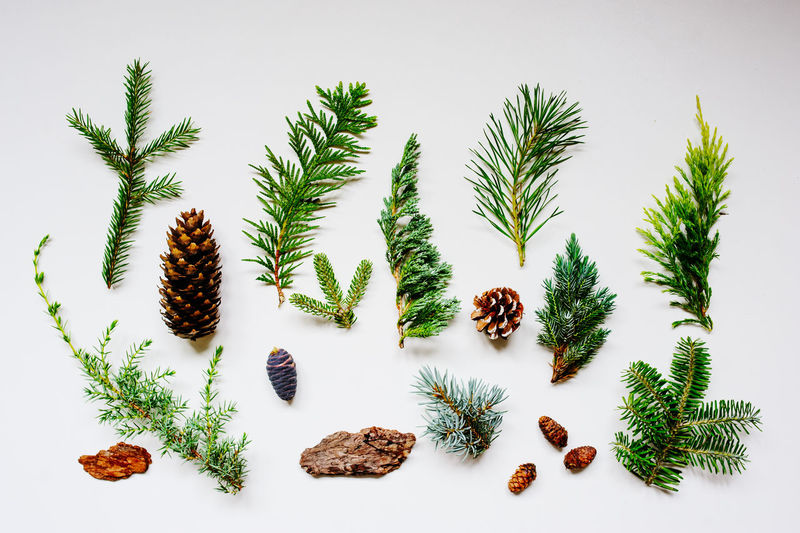 collection of various conifers and its cones on white backround. Set of juniperus, thuja, picea, abies, and pinus on white background. Botanical evergreen flat lay. White Background Plant Green Color Nature No People Indoors  Tree Leaf Close-up Growth Still Life Beauty In Nature Freshness Leaves Conifer  Pine Tree Collection Garden Gardener Wild Forest Cone