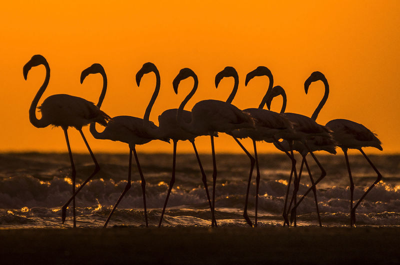 Silhouette of flamingos standing by beach during sunset
