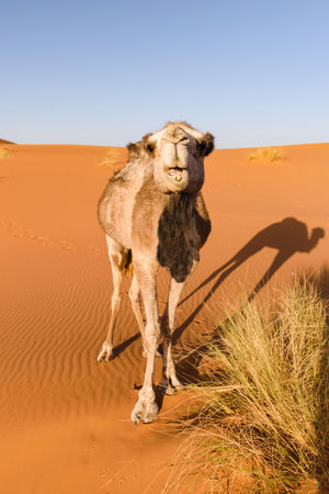A camel in a desert in Morocco looks at the camera while eating some grass. There is a nice shadow of the camel on the ground. Africa Animal Themes Arabian Camel Arid Climate Camel Camelus Dromedarius Clear Sky Day Desert Dromedary Grass Landscape Mammal Morocco Nature No People One Animal One-humped Outdoors Sahara Sahara Desert Sand Dune Shadow Sky Steppe