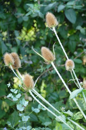 Teasle Teasles Beauty In Nature Beauty In Nature Natures Diversities Nature On Your Doorstep Flowers,Plants & Garden