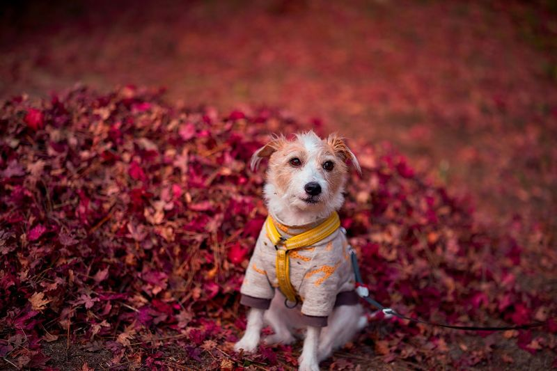 Japanese Macaque Japanese Maple Rustling Bokeh Photography Fallen Leave Bokeh Photography Beuty In Nature Fallen Leave Canine Dog Pets Animal Themes Mammal Domestic Animal Domestic Animals Plant Part Looking At Camera Nature Leaf Autumn Portrait No People Plant Clothing Outdoors