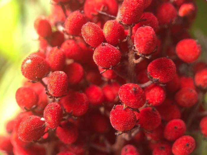 Close-up of lychee growing on tree