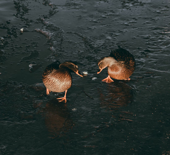 High angle view of ducks in lake