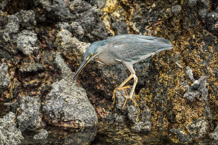 Striated heron perching on rock in lake