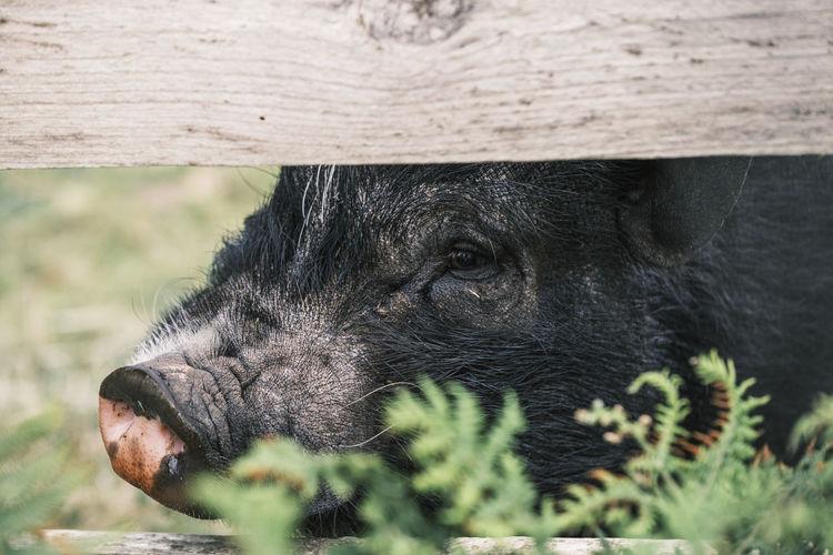 Black pig hiding behind a fence