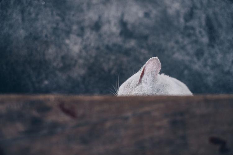 cat ear Cat