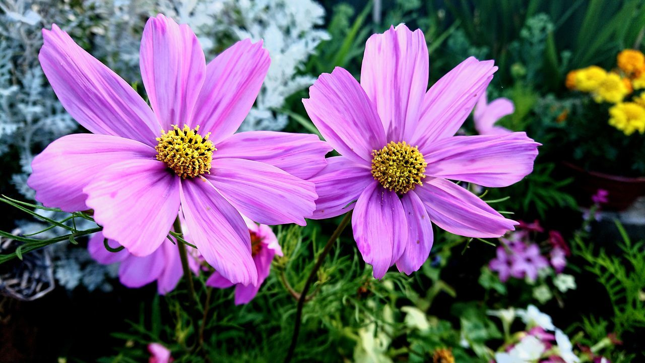 flower, petal, fragility, nature, plant, growth, freshness, blooming, pink color, beauty in nature, flower head, osteospermum, no people, outdoors, focus on foreground, purple, day, cosmos flower, close-up, eastern purple coneflower