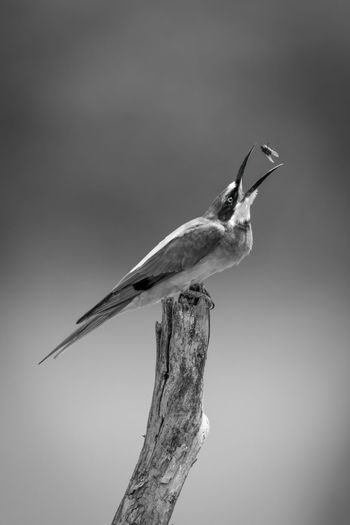 Mono european bee-eater on stump tosses fly