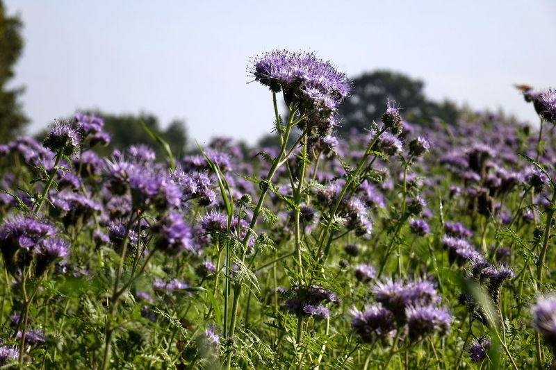Phacelia Beauty In Nature Bienenweide Blooming Close-up Day Field Flower Flower Head Focus On Foreground Fragility Freshness Growth Lavender Nature No People Outdoors Plant Purple Thistle