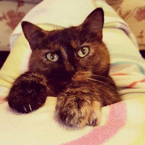 Snuggles!! Cat Cats Littleballoffur Itsacatslife Paws Fluffy Cute Cateyes Bigears