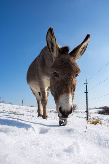 Looking At Camera Animal Themes Beauty In Nature Clear Sky Cold Temperature Domestic Animals Donkey Donkey Looking At Camera Looking Down To Camera Mammal Nature No People One Animal Outdoors Snow Weather Winter
