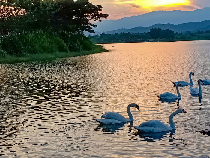swan Nature Sunset Landscape Nature Sunset Nature Sunset Beauty Sunset Swans Swans On The Lake Swans Swimming Swan In A Lake Swan