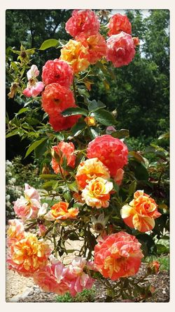 Beautiful Roses Sunny Day No Filter Needed Park #summertime