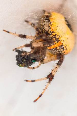 Close-up Creepy Day Eating A Fly EyeEm Macro Eyes Flies Fly Focus On Foreground Macro Macro Photography Nature Nature Photography Naturelovers No People Selective Focus The Great Outdoors - 2016 EyeEm AwardsSpider Spider Eating Spider Eating A Fly Spider Watching Spider Web Spiderweb Spiderworld Maximum Closeness Perspectives On Nature