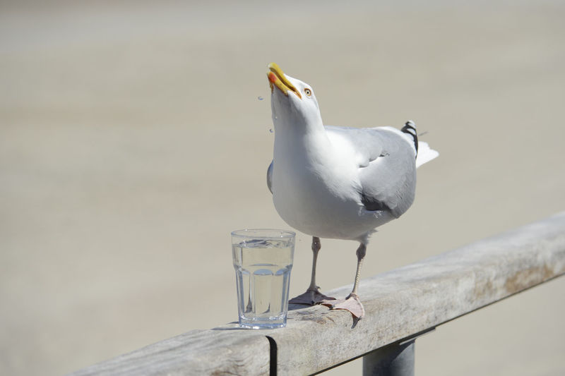 Seagull with a