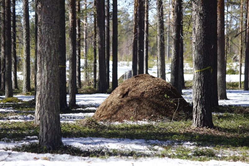 Tree Nature Day Outdoors No People Snow Tranquility Landscape Beauty In Nature Spring Ants Colony Ants Nest