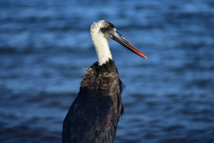An Untidy Looking Wooly Necked Stork Spoils A Good Looking Photo Wooly Necked Stork Bishop Stork White Necked Stork Long Beak Long Legs Bird Water Ibis Beak Pelican Close-up Stork Water Bird Feather