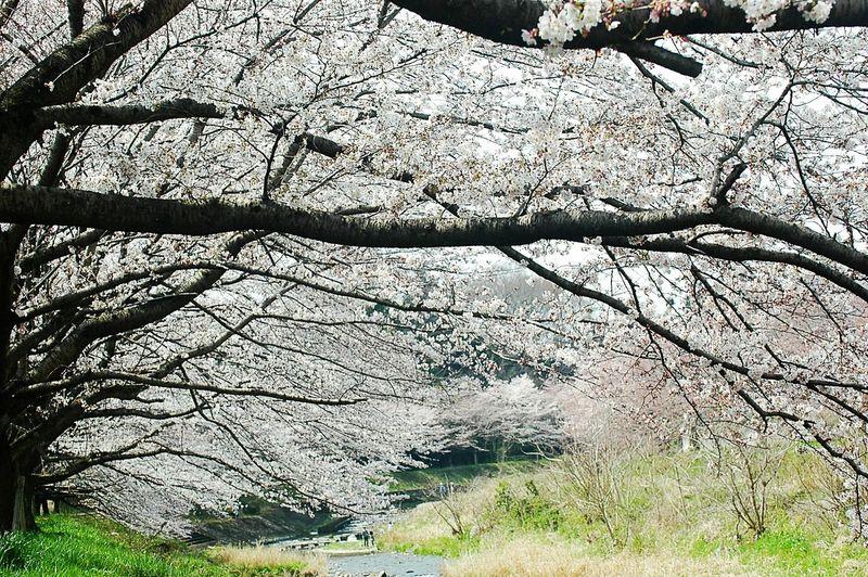 桜アーチ。 Spring Time Colors Cherry Blossoms Sakura 桜 Blossom Japan Spring 春 EyeEm Nature Lover Riverwalk River View