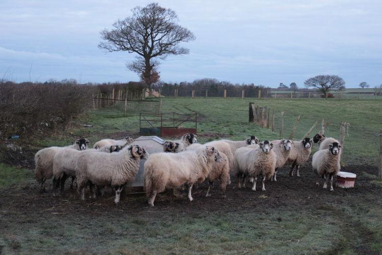 Flock of sheep grazing on field