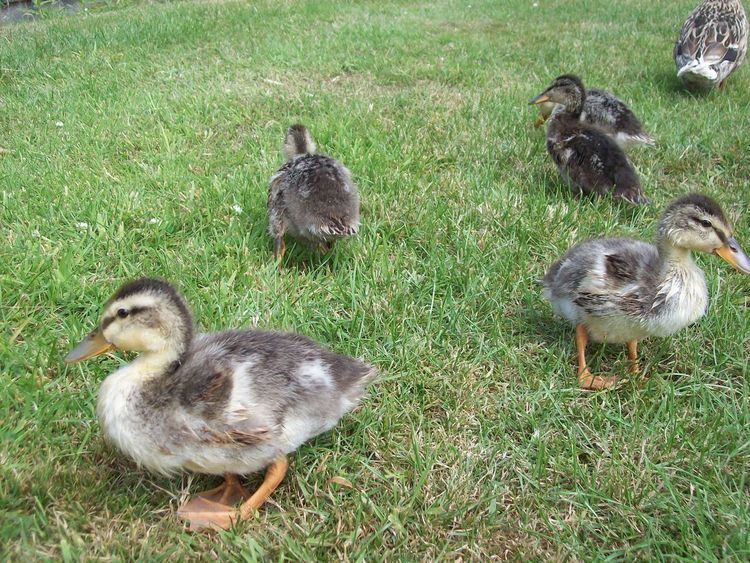Animal Animal Family Animal Themes Animal Wildlife Animals In The Wild Bird Day Duck Field Gosling Grass Green Color Group Of Animals High Angle View Nature No People Outdoors Vertebrate Young Animal Young Bird