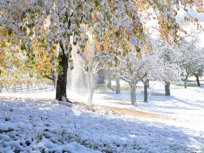 cherry tree covered with snow, snow falling in the sun Autumn Colors Autumn Leaves Weather Beauty In Nature Cold Temperature Early Snowfall Fruit Trees Landscape Nature Outdoors Season  Snow Tree Winter Trees