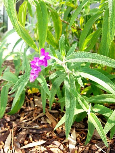 Sage Sage Sage Flowers Purple Purple Flowers Purple Sage Herbs Foraging Abundance Of Nature Flower Leaf Close-up Plant